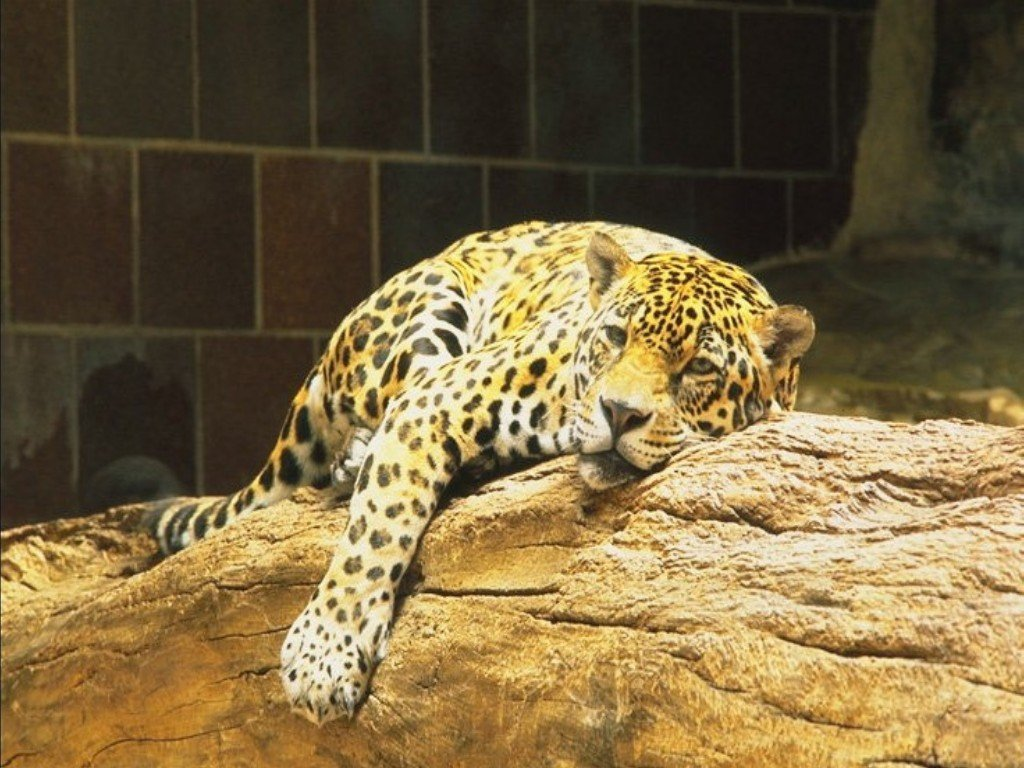 Leopards - 017